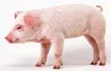 kiauliu-gripas-simptomai-cesnakai-svogunai